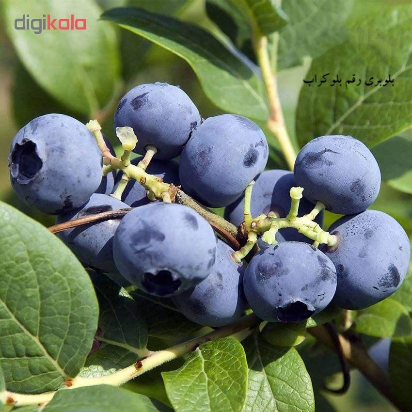 بذر میوه بلوبری بلوکراپ مدل 001 main 1 1